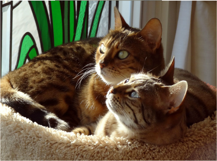 Bengal cats Dewi and Sita