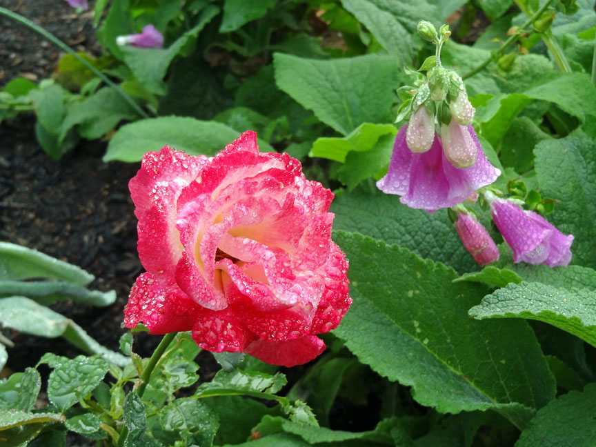 garden, gardens, Montague, PEI, B&B, rose